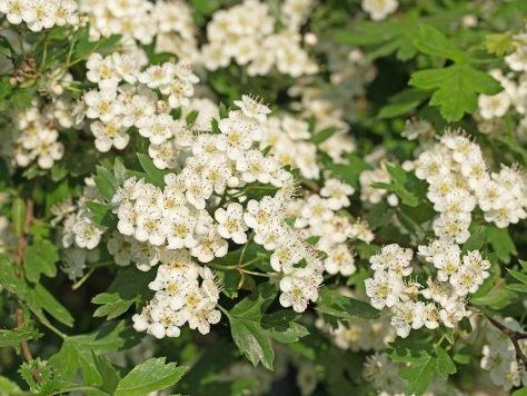 Weißdorn ist zur Arzneipflanze des Jahres 2019 gewählt