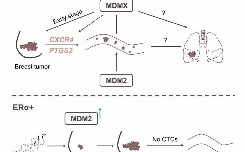 Forscher link überexpression von MDMX protein Metastasierung von 3X-negativen Brustkrebs