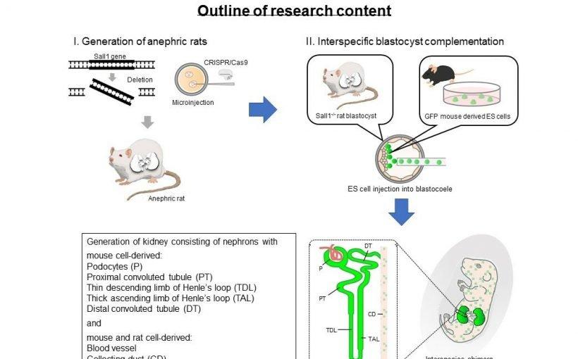Forscher einen Schritt näher an die wachsenden made-to-order menschlichen Nieren