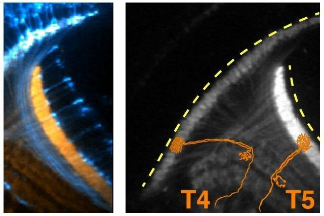 Elektrische Aktivität früh in Fruchtfliegen' die Entwicklung des Gehirns könnte Licht auf, wie Neuronen Draht das Gehirn