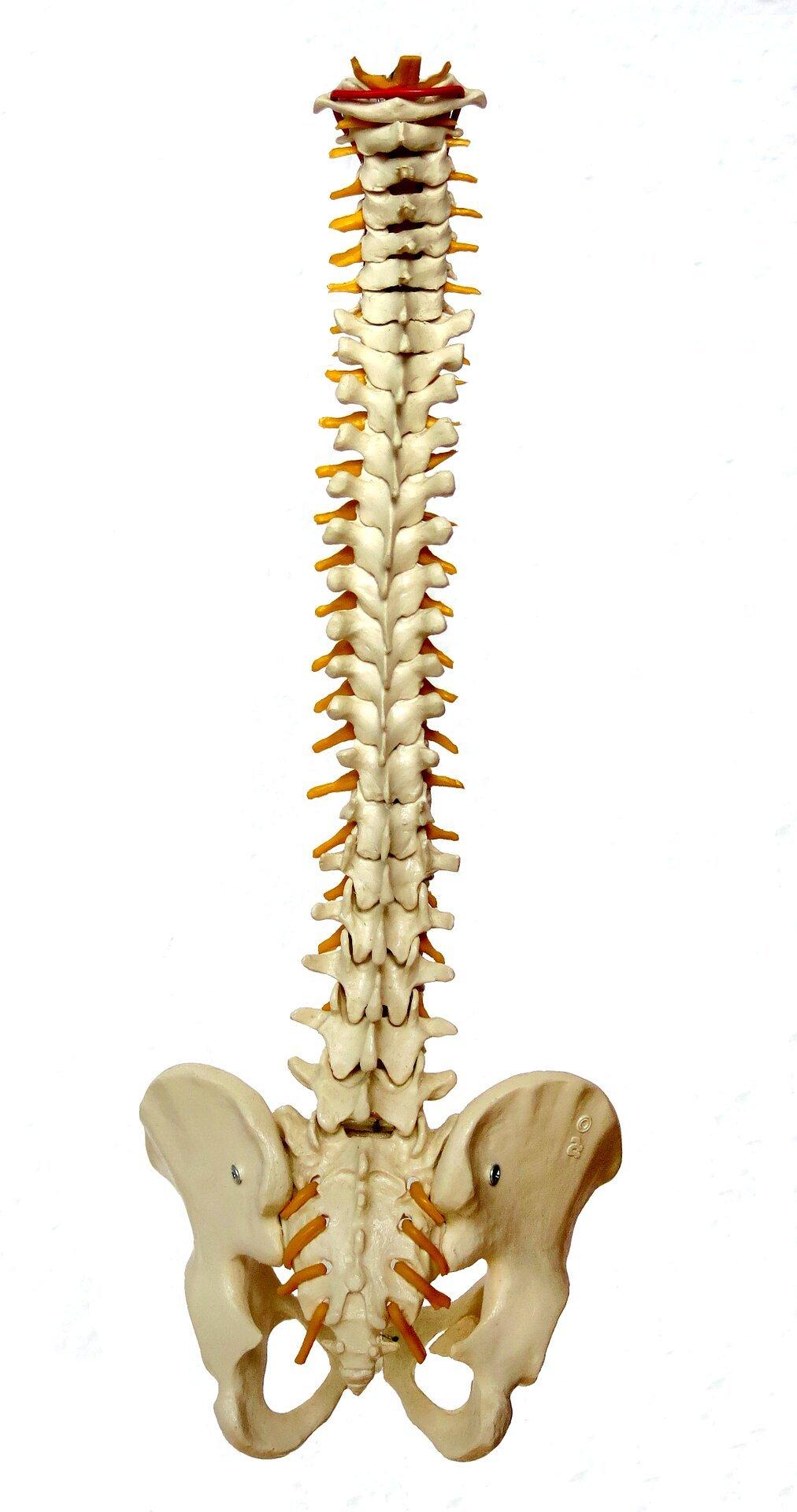 """Rückenmark ist """"smarter"""" als bisher gedacht"""