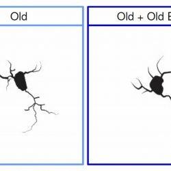 Jungen Knochenmark regeneriert aging-Maus Gehirn, Studie findet