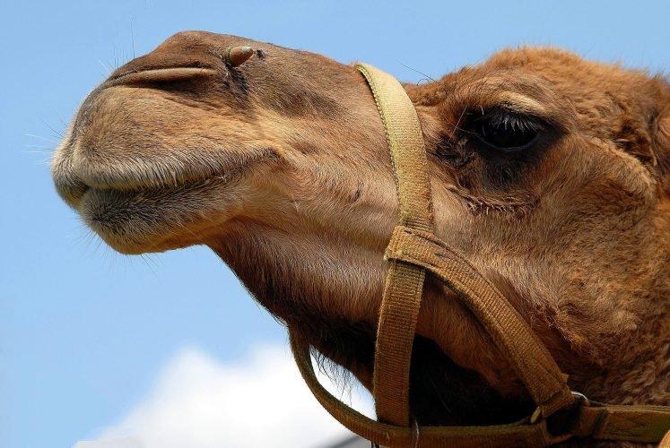 Kamel-Antikörper sorgen für überraschende Hoffnung für die saisonale Allergiker