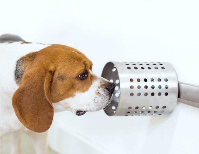 Studie zeigt, dass Hunde genau zu erschnüffeln Krebs im Blut