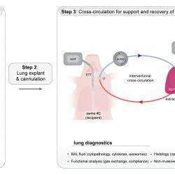Beschädigte Lunge regeneriert in der Studie