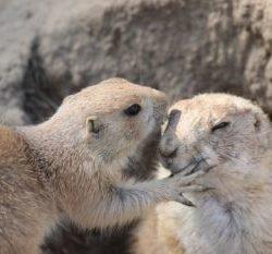 Touristen-Paar verspeisten Murmeltier – und verstirbt an der Beulenpest - Quarantäne ausgerufen