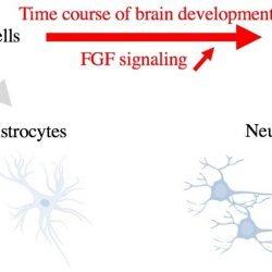 Entdeckung der Zelle Schicksal-switch von Neuronen und Astrozyten in der Entwicklung des Gehirns