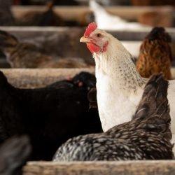 Mehr Humane Mahlzeiten Geliefert – Lebensmittel-Lieferservice Unternehmen, die sich Verpflichten Progressive Tierschutz-Richtlinien.