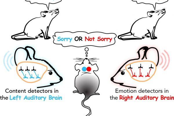 Wissenschaftler näher an der Entschlüsselung der Mechanismen der Sprachverarbeitung im Gehirn