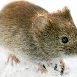Mäuse übertragen Hanta-Virus: Experten erwarten dieses Jahr besonders viele Infektionen