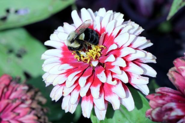Australian bee sting Impfstoff-Studie hält, was Sie verspricht, gegen allergische Reaktionen