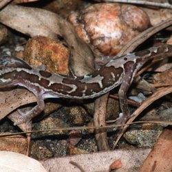 34-Jähriger soll Gecko verputzt haben – zehn Tage später versagen seine Organe
