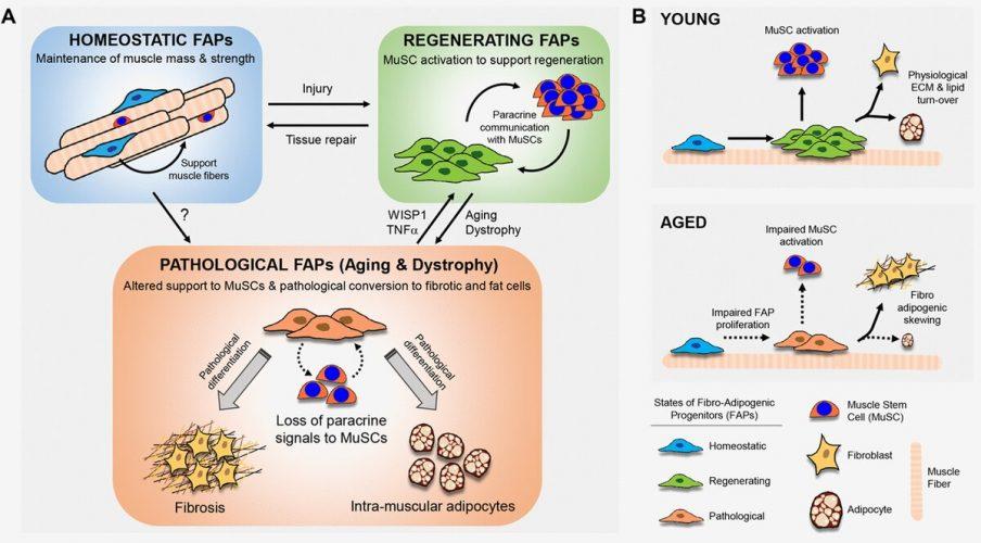 Adipogene Vorläuferzellen halten Muskel-Stammzellen jung