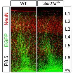 Wissenschaftler reverse-core-symptom von Schizophrenie in den Erwachsenen Mäusen