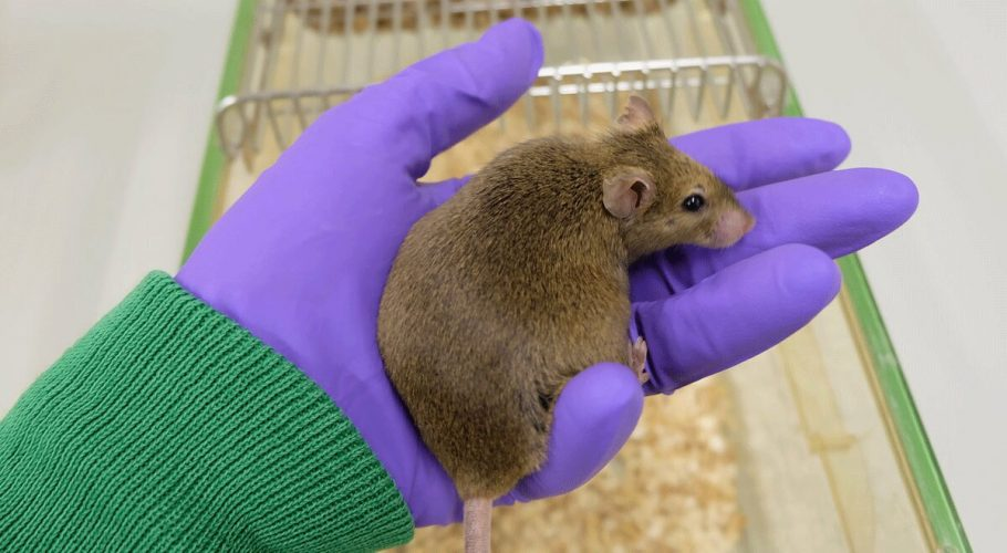 Reduziert die Nahrungsaufnahme in alten Mäusen nicht mehr zur Verbesserung der Gesundheit