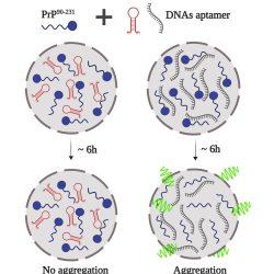 Wie funktioniert das prion-protein-Klumpen? DNA-modulierten flüssige Tröpfchen erklären kann