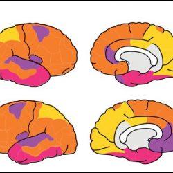 Das fetale Gehirn besitzt Erwachsenen-wie Netzwerke
