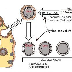 Störung des Glycin-Rezeptoren zur Studie der embryonalen Entwicklung und Funktion des Gehirns