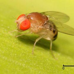 Ketogene Diät schützt Fruchtfliegen-Gehirne von Gehirnerschütterungen
