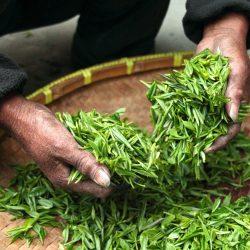 Substanz in grünem Tee pflanze zeigt Potenzial für den Kampf gegen Tuberkulose