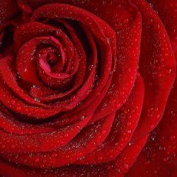 Der Duft einer rose verbessert das lernen im Schlaf