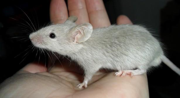 Maus-Studie zeigt, wie fortschreitendem Gliom-Zellen scramble Funktion des Gehirns, Blutfluss