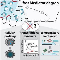 Studie zeigt, wie ein master-regulator der gen-Transkription betreibt