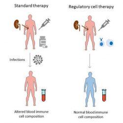 Neue Zelltherapie Ansätze Ausbeute weniger Komplikationen nach Organtransplantation