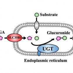 SLC35B1 als wichtigen modulator der UDPGA-transporter in das endoplasmatische Retikulum