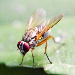 Neue Hinweise von Fruchtfliegen über die kritische Rolle von Sexualhormonen in der Stammzell-Kontrolle