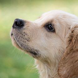 COVID-19 Hunden konnte das ausspionieren von Fällen, in Monaten