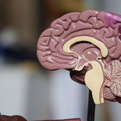 """Lassen Neuronen sprechen, Zellen des Immunsystems, klare Wege durch das Gehirn ist ein """"Gerüst"""""""
