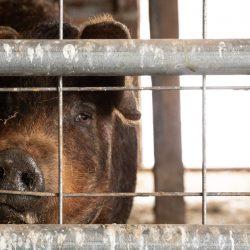 Bill Eingeführt, um den Schutz von Nutztieren, Essen der Arbeitnehmer und der Verbraucher Während COVID-19