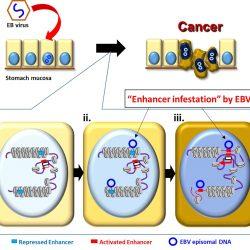 Epstein-Barr-virus rewires host epigenomes zu fahren, Magen-Krebs