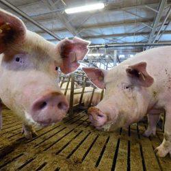 Größter Abnehmer China verbietet nach Pestfall Import von deutschem Schweinefleisch