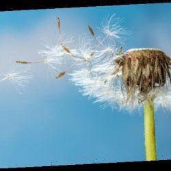 Lässt der Pollenflug die Corona-Infektionen steigen?